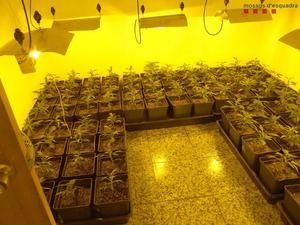 Los Mossos desmantelan una plantación de marihuana en Torrelles valorada en casi 300.000 euros