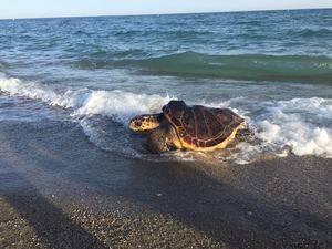 Liberada una tortuga marina tras intentar anidar en la playa de Castelldefels