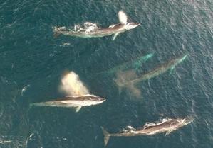 Ballenas y delfines pasan ante las costas del Baix Llobregat