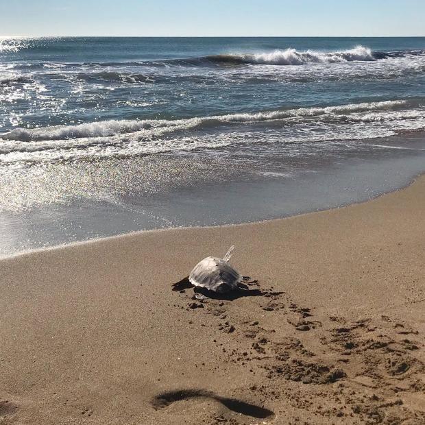 La Fundació Cram recupera y libera 5 tortugas bobas