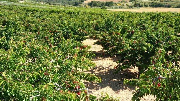 Las cerezas del Baix Llobregat, pendiente de la Mosca Suzukii