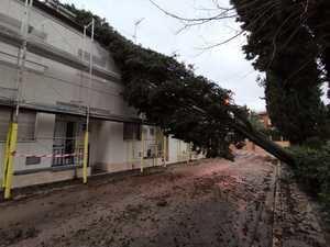 Un ciprés centenario de 15 metros ha caído sobre unas viviendas en la zona de Can Sostres, en Torrelles.