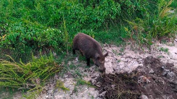 Els caçadors d'Olesa es preparen per actuar contra la proliferació de senglars