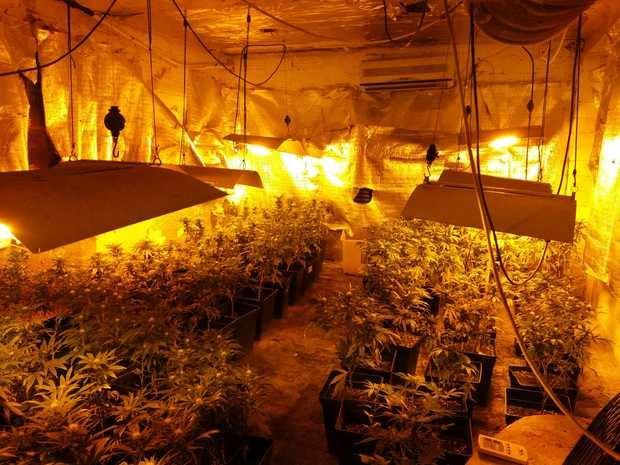 La plantación de marihuana incautada en el muncipio.