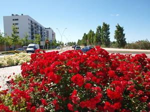 Sant Feliu, rosa del Llobregat
