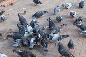 'Les Agulles-Ecologistes en Acció' critica las actuaciones realizadas para el control de la población de palomas en Gavà