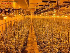 Los Mossos desmantelan una plantación de marihuana en Abrera