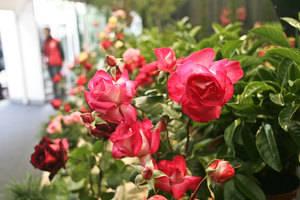 L'Exposició Nacional de Roses de Sant Feliu de Llobregat, amb més de 80 anys d'història, és un dels actes culturals més importants de l'any i un dels esdeveniments més emblemàtics de la ciutat.