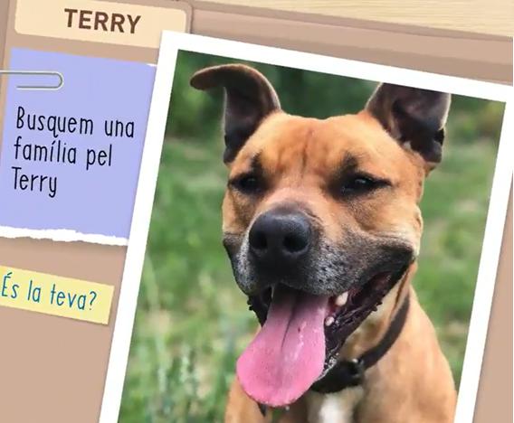 Terry, un perro americano Staffordshire terrier de tres años y medio busca un amo fiel