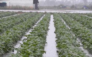 Los payeses de Gavà y Viladecans vaticinan que la agricultura puede desaparecer en cinco años