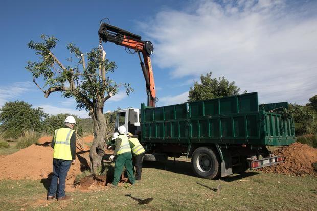 Viladecans planta los primeros 270 árboles del barrio de Llevant en su emplazamiento definitivo