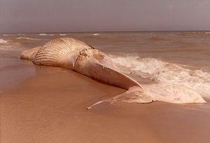 La ballena varada en la playa de El Prat.