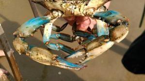El cangrejo azul americano amenaza el ecosistema del Delta del Llobregat
