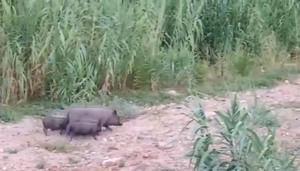 Los cerdos vietnamitas campan a sus anchas por el delta del Llobregat