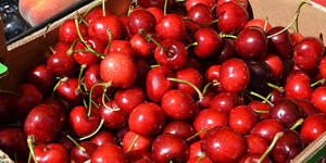 El caluroso invierno deja a los agricultores del Baix a un cuarto de la producción habitual de cerezas