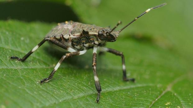 El insecto contra el cual se lucha en el Baix Llobregat.