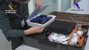 Intervienen 76 crías de una tortuga protegida en el Aeropuerto