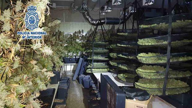 Desmantelada una plantación de marihuana en el cuarto secreto de una chatarrería de Sant Feliu