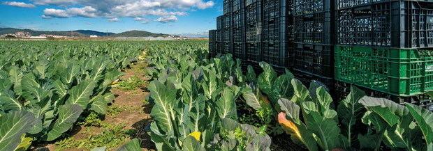 Los payeses alertan de fraudes con productos de km0 que no son del Delta, como la alcachofa