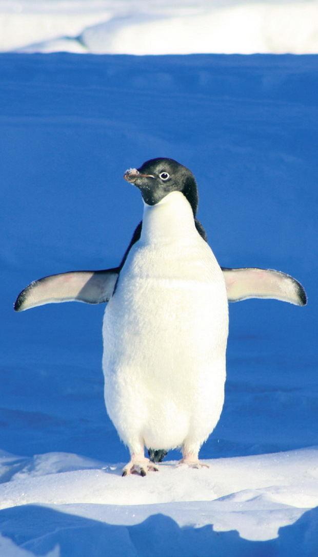 Zora, la pingüina