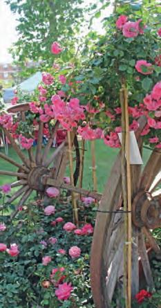 Sant Feliu promou el futur de la rosa