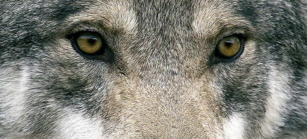 Descobrint la petjada del llop a Catalunya