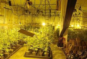 Desmantelada una gran plantación de marihuana en L'Hospitalet valorada en 105.000 euros