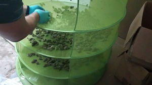 El olor conduce a cinco kilos de marihuana cultivados en el sótano de una antigua ferretería de L'Hospitalet