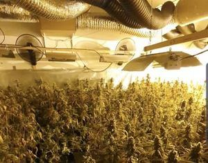 Incautadas 1.300 plantas de marihuana en Sant Esteve Sesrovires