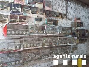 Cop important contra el tr�fic i mercat il�legal d�ocells silvestres de cant a l��rea metropolitana
