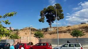 L'Associació Perseu portarà al Ple un projecte alternatiu per mantenir 'in situ' el Pi de la Remunta