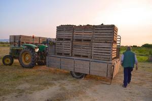 Los agricultores pratenses comienzan a plantar la nueva cosecha de alcachofas