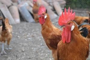 El Prat celebra la 43a edició de la Fira Avícola