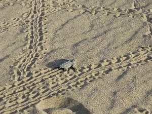 Ejemplar de tortuga boba intentando llegar al mar