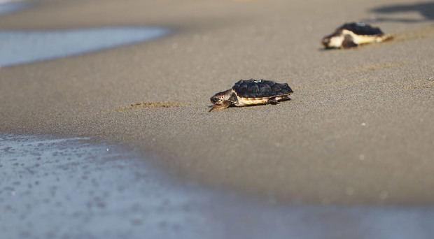 El CRAM libera 12 tortugas marinas en la playa de Castelldefels