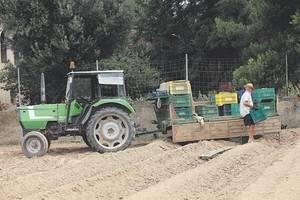 La plantada de carxofes de El Prat dóna ara una de les joies del Parc Agrari del Baix Llobregat (Foto: BCN Content Factory)